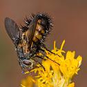 Zion Bee Fly - Spiny Tachnid Fly