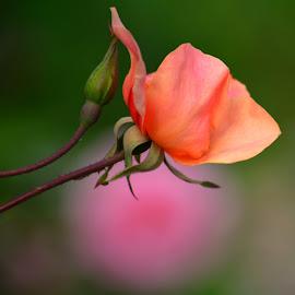 Single bud by Rhonda Kay - Flowers Flower Buds