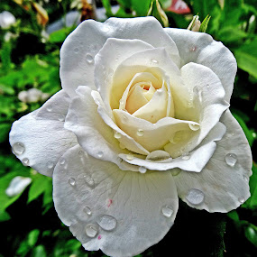 A rose is a rose... by Pradeep Kumar - Flowers Single Flower