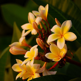 by Pixie Simona - Flowers Flower Gardens ( white flower, jasmine in the sunset, jasmine, frangipani, english jasmine, flower, yellow flower, golden hour,  )