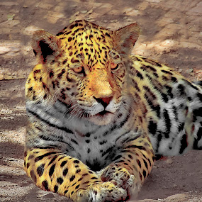 Nice kitty by Danny Bruza - Animals Lions, Tigers & Big Cats