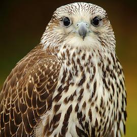 Quel regard by Gérard CHATENET - Animals Birds