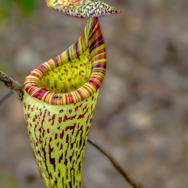 Pitcher Plant by Albert Lee - Nature Up Close Other plants