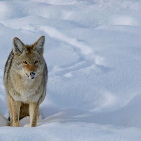 Yellowstone Coyote I by Diana Treglown - Animals Other Mammals ( coyote, yellowstone, winter, montana, wyoming, snow, wildlife )