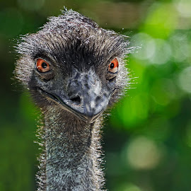Ostrich Smile by Joan Sharp - Animals Birds ( green bokeh backdrop, golden eyes, ostrich, black, birds,  )