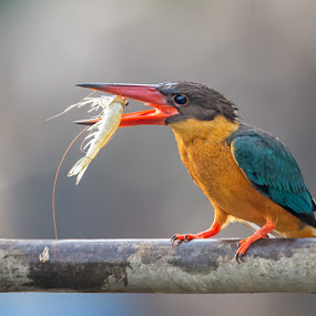 Stork-billed Kingfisher by Phoo (mallardg500) Chan - Animals Birds ( kingfisher, fim )