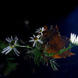 *** by Jurijs Ratanins - Instagram & Mobile Android ( mobilography, nature, autumn, daisies, plants, leaves, flowers )
