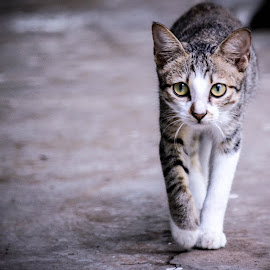 Walk like a tiger by Rakesh R - Animals - Cats Portraits ( cat, curious, walk, kitty, eyes )