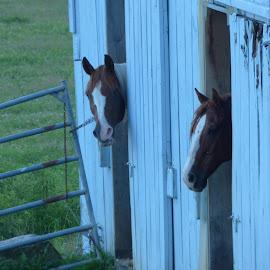 Horse Barn by Richard Crosier - Animals Horses ( animals, nature, farms, wildlife, landscapes )