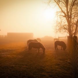 Horses in Morning Fog by Ed & Cindy Esposito - Animals Horses ( farm, horses, pa, fog, lancaster )