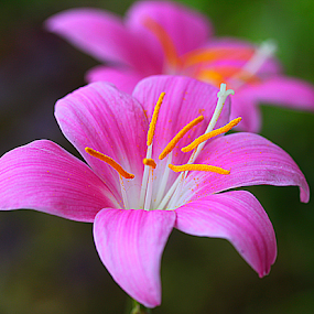by Carmen Quesada - Flowers Single Flower ( single, crocus, pink, yellow, flower,  )