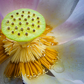 Lotus Seed by Steven De Siow - Nature Up Close Other plants ( lotus flower, seeds, nature up close, lotus, lotus seeds, nature close up,  )