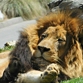 Lazy Lion by Holly Romine - Novices Only Wildlife ( cats, lion, wildlife, sleepy, lazy )