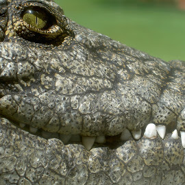 Croc watch by Sandra Moreira - Animals Reptiles (  )