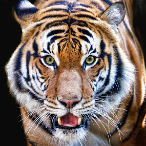 by Judy Rosanno - Animals Lions, Tigers & Big Cats ( february 2017,  )