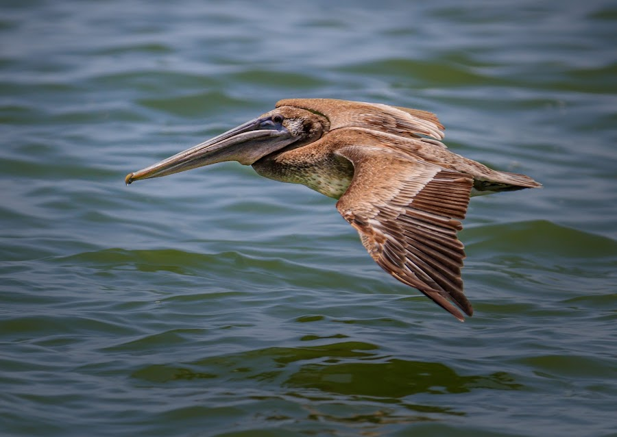 Gliding by Bill Killillay - Animals Birds ( canon, bird, fishing, pelican, gliding )