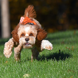 by Steven Liffmann - Animals - Dogs Playing