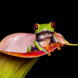 Big eyes by Garry Chisholm - Animals Amphibians ( garry chisholm, macro, chameleonphotography, nature, red eyed tree frog, amphibian )