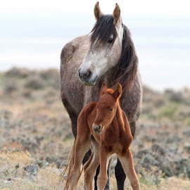Mom & Son by Bryant  Aardema - Animals Horses ( wild animal, winter, desert, nature, horses, utah, wildlife, foal, animal, wild horses )