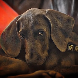 Weimaramer puppy by Jim Antonicello - Animals - Dogs Puppies ( weimaramer puppy )