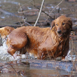 Arya Splashing Good Time by Ellee Neilands - Animals - Dogs Puppies ( water, canine, pet, play, puppy, cute, dog, golden retriever )