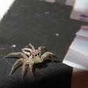 Common Housefly Catcher Spider