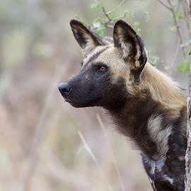 African Wild Dog by Sean & Richard Photography - Animals Other Mammals ( predator, wild, carnivore, wildlife, endangered, wild dog, kruger, africa )