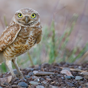Burrowing Owl by Phoo (mallardg500) Chan - Animals Birds ( burrowing owl, owl )