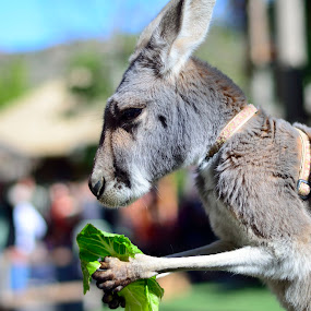 Let me finish my lunch by Mariusz Murawski - Animals Other Mammals ( safari park, kangaroo, fur, ears, mammal )