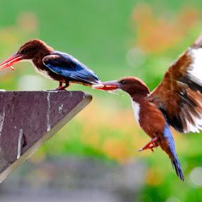 Kingfishers by Terence Lim - Animals Birds ( flight, kingfisher, birds )