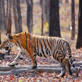 Motion by Soham Chakraborty - Animals Lions, Tigers & Big Cats