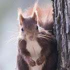 Red Squirrel; Ardillo Roja
