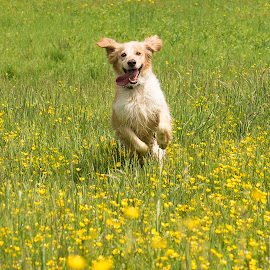 Happy dog by Dubravka Krickic - Animals - Dogs Running ( yellow flowers, playing, happy, action, cute, dog, running, smiling )