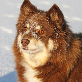 Veera the ice princess by Mia Ikonen - Animals - Dogs Portraits ( loyal, finnish lapphund, beautiful, finland, expressive )
