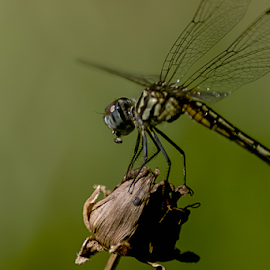 Out For Lunch by Janice Mcgregor - Animals Other ( canon, dead rose, macro photography, canon sl1, insect, tail, spring, eyes, rose, macro, nature, wings, food, outdoor, summer, canon photography, dragonfly, head, wilted, outside, flower, floral, nature phtography )