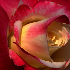 Rose Close Up by Larry Bidwell - Flowers Flower Buds (  )
