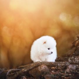 by Geraldine Enslin - Animals - Dogs Puppies ( canon, natural light, pomoverian, cute, tamron, portrait, pet portrait, fluffy, pet, puppy, pooch, dog, natural, animal )