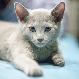 Russian Blue kitten by Aleksander Cierpisz - Animals - Cats Kittens ( face, cat, pedigree, kitten, russian, purebreed, blue, front, grey, bokeh, portrait, eyes )