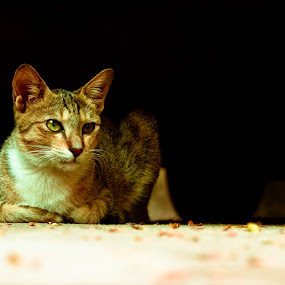 by Mohammed Arief - Animals - Cats Portraits