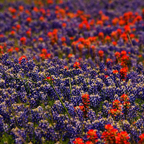 Red and blue by Brenda Shoemake - Flowers Flowers in the Wild (  )
