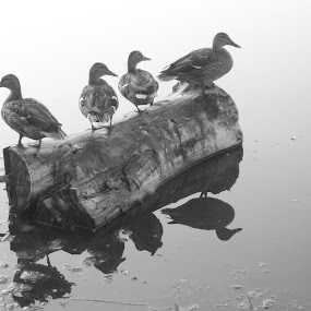 All My Ducks In A Row by Ginger Fisher - Animals Birds