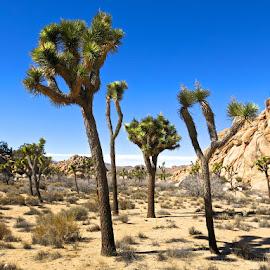 Joshua Tree. by Aaron Bushkowsky - Landscapes Deserts