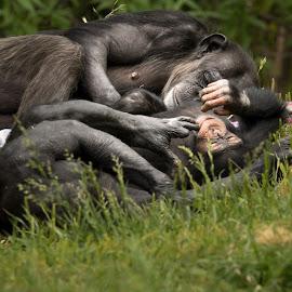 Sleeping Chimps by Eva Ryan - Animals Other Mammals ( chimpanzee, resting, grass, sleeping, monkey, oklahoma_city_zoo, animal,  )
