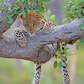 Hanging out! by Anthony Goldman - Animals Lions, Tigers & Big Cats ( big cat, predator, feline wild, nature, mashaba young female tree londolozi, wildlife, cub, leopard )