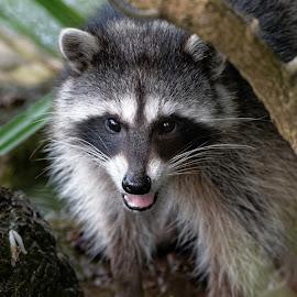 RaCcoon Pal in the Park by Raphael RaCcoon - Animals Other Mammals ( raccoon, mammal, animal )