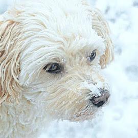 Triskit snowy portrait 4 by B Lynn - Animals - Dogs Portraits ( winter., scenes., snowy., white., whites. )