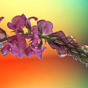 After the rain by Michael Schwartz - Nature Up Close Flowers - 2011-2013 ( sunset, drops, rain, flower, colours, nature, flowers,  )