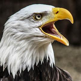 Wotan by Garry Chisholm - Animals Birds ( bird, garry chisholm, nature, bald eagle, wildlife, prey, raptor )