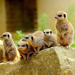 Suricat family.jpg