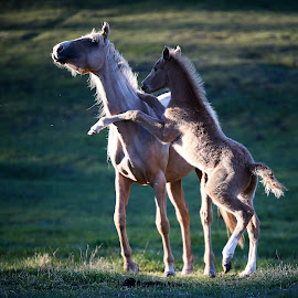 Playing with Mom by Glenys Lilley - Animals Horses ( palomino, colt, horse, arabian, evening light, rearing, foal )